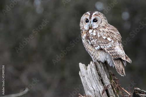 Photo Tawny owl, Strix aluco