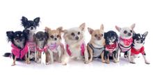 Nine Chihuahuas