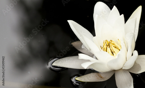 Deurstickers Waterlelies White water lily in a dark pond