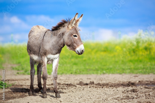 Foto op Canvas Ezel Grey donkey in field