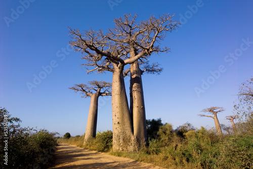 Keuken foto achterwand Baobab baobabs tree
