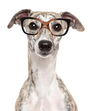 Dog In Glasses On White Background