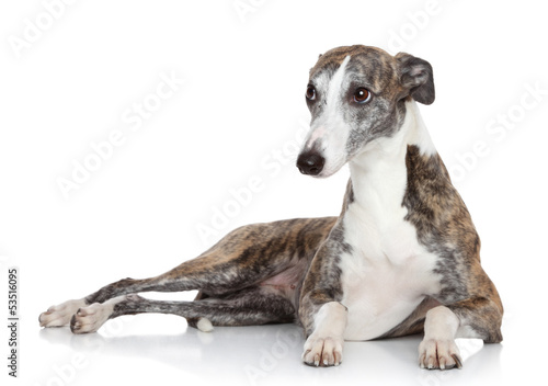 Whippet lying in front of white background Canvas Print