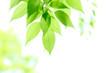 Leinwandbild Motiv 新緑の葉っぱ