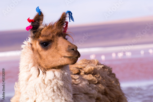 Fotobehang Lama Lama on the Laguna Colorada, Bolivia