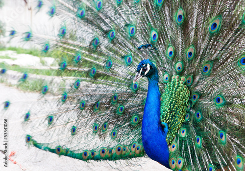 Foto op Plexiglas Pauw Close up of peacock showing its beautiful feathers