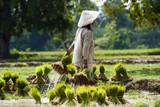 Plantacja ryżu w Laosie - 53556455