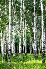 Naklejka Beautiful evening Birch Grove in june