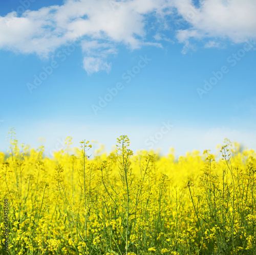 Doppelrollo mit Motiv - Yellow field rapeseed in bloom (von konradbak)