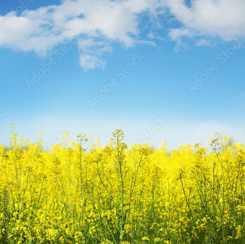 Foto-Schiebegardine ohne Schienensystem - Yellow field rapeseed in bloom