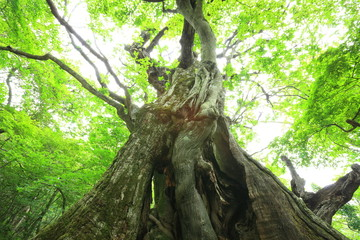 Primeval forest of Chestnut tree, Gunma, Japan