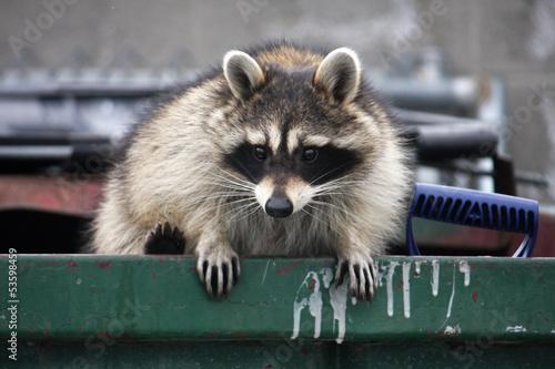 Tablou Canvas raccoon