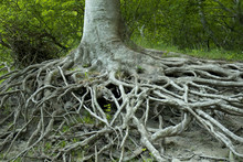 Exposed Tree Roots From Erosio...