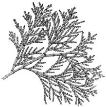 Branch Of Plant Libocedrus Decurreus (California Incense-cedar)