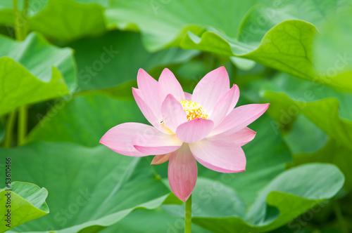 Staande foto Lotusbloem ハスの花