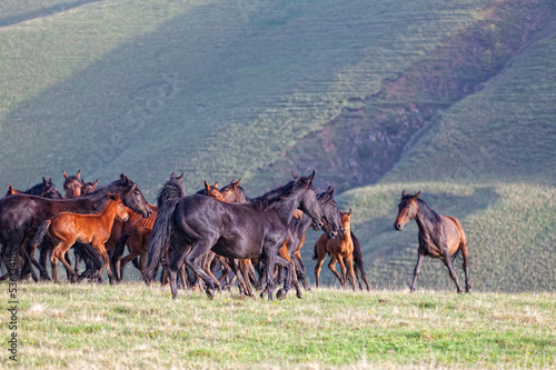 Fotografía  Herd of horses on a summer pasture. Elbrus, Caucasus
