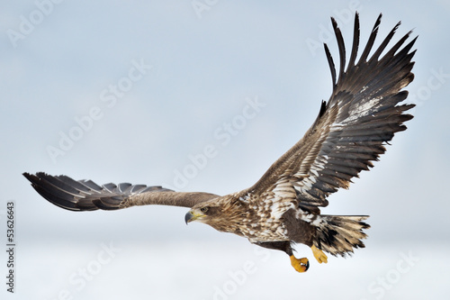 Foto op Plexiglas Eagle White-tailed Sea Eagle flying above the pack ice.