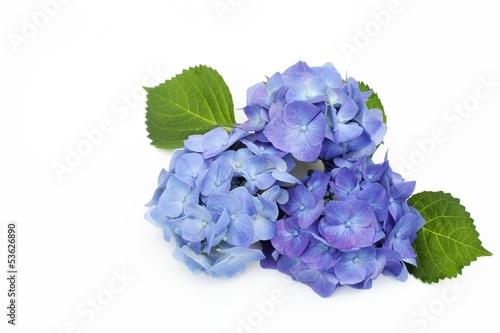 Spoed Foto op Canvas Hydrangea ブルーのアジサイ