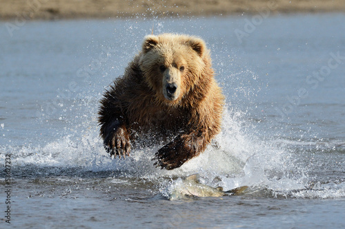 Fotografie, Tablou  Grizzly Bear jumping at fish