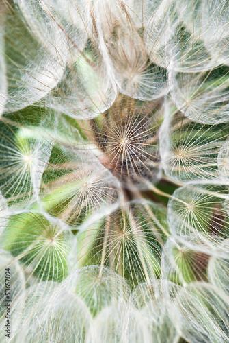 Montage in der Fensternische Lowenzahn und Wasser Gigantic dandelion flowers parachutes