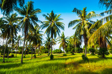 Grove Of Coconut Trees On A Su...