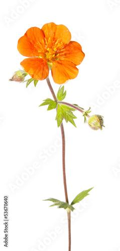 Obraz na plátne Blossom of potentilla atrosanguinea
