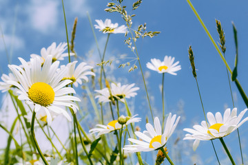 Fototapeta na wymiar daisy flower field