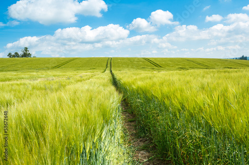 Organic Green spring grains field
