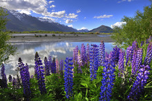 Lupines On The Shore Of The River In New Zealand