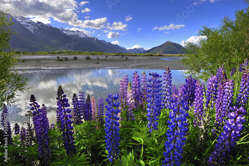 Foto op Canvas Nieuw Zeeland Lupines on the shore of the river in New Zealand