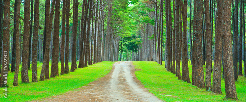 Aluminium Prints Road in forest Path into the pine forest