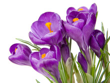 Purple Crocus With A White Background