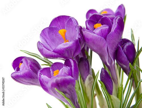 Papiers peints Crocus Purple crocus with a white background