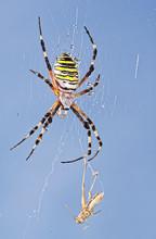 Tiger Spider Eating
