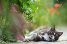 Pretty Grey Kitty Licking Its ...