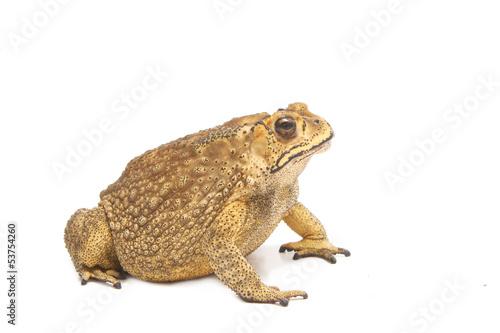 Foto op Canvas Kikker toad isolate