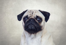 Nice Pug Dog With White Hair
