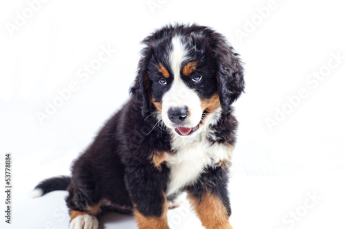Poster de jardin Vache Puppy bernese mountain dog