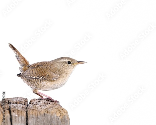 Fotografie, Obraz  Winter wren on white background