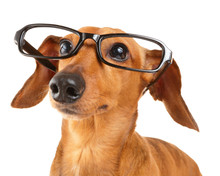 Dachshund Dog With Glasses Close Up