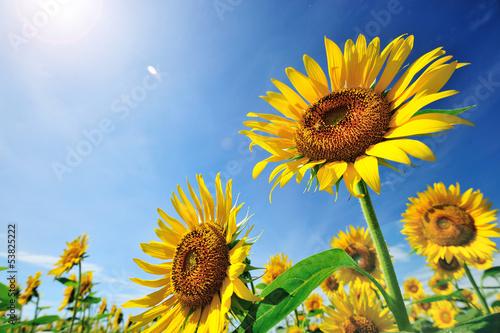 Foto op Canvas Zonnebloem 太陽とヒマワリ