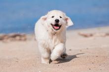 Happy Golden Retriever Puppy R...