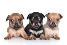 Chihuahua Puppies (1 Month)