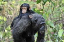 Mother Chimpansee Walking By W...