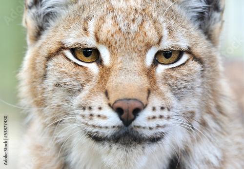 Foto auf Leinwand Luchs Portrait of a Lynx