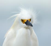 Snowy Egret, Egretta Thula, Portrait, Looking Straight Ahead