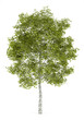 canvas print picture - birch tree isolated on white background
