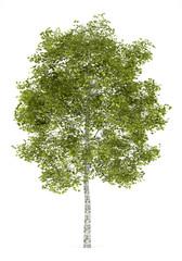 Fototapeta birch tree isolated on white background