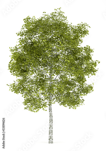 Fotografija birch tree isolated on white background