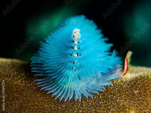 Christmastree Worm - Spirobranchis giganteus